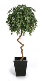 Spiral Ficus
